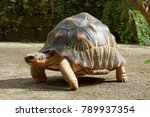 Stock photo portrait of radiated tortoise tortoise sunbathe on ground with his protective shell radiated 789937354