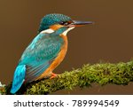 Small photo of Close up of a Female Common kingfisher perching on a mossy perch, England, UK.