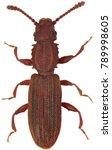 oryzaephilus surinamensis  the... | Shutterstock . vector #789998605