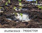 green young vegetable shoots... | Shutterstock . vector #790047709