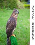 Small photo of Portrait of Shikra (Accipiter badius) is a small bird of prey in the family Accipitridae which also includes many other diurnal raptors such as eagles, buzzards and harriers.