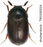 male of the black carpet beetle ...   Shutterstock . vector #790100314