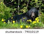 Black Bear In Wilderness.
