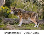 red wolf conservation | Shutterstock . vector #790142851