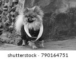 the wear  aggressive spitz dog... | Shutterstock . vector #790164751