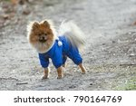 the wear  aggressive spitz dog... | Shutterstock . vector #790164769