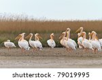 white pelicans in the danube... | Shutterstock . vector #79019995