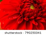 colorful dahlia garden flower... | Shutterstock . vector #790250341