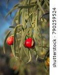 Small photo of Santalum acuminatum, desert bush tucker peach quandong. Australian natine fruit