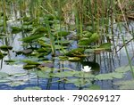 Cow Lily And Lily Pads In...