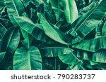 tropical banana leaf texture ... | Shutterstock . vector #790283737
