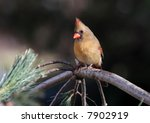 female northern cardinal in a... | Shutterstock . vector #7902919