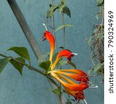 Small photo of Gesneriaceae. Aeschynanthus speciosus, also known as the Basket plant.