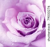 Abstract Purple Wet Rose...