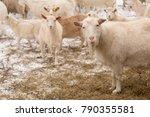 agriculture breeding goats....   Shutterstock . vector #790355581