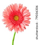 Gerber Flower  Isolated On...
