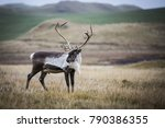 wild reindeer grazing during an ... | Shutterstock . vector #790386355