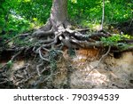 oak  roots  trunk  zuid limburg ... | Shutterstock . vector #790394539