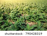 Small photo of Business of tobacco leaf in tobacco plantation,Tobacco leaves in farm