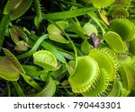 close up of a carnivorous plant | Shutterstock . vector #790443301