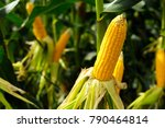 the corn or maize is bright...   Shutterstock . vector #790464814