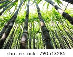 sugarcane plants growing at... | Shutterstock . vector #790513285
