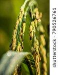 Small photo of agriculture rice farming, agriculture rice production, california rice, farm experience days, farm videos, farmer costume, farmer costume female, farmer hat, farmers market houston. isolated rice