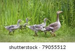 Mother Goose Leading Goslings...