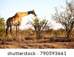 blur in south africa    kruger  ... | Shutterstock . vector #790593661