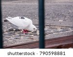 White Pigeon Trying To Find Ou...