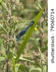 Small photo of a male banded agrion also known as banded demoiselle or agrion splendens damselfly