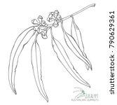 gumnuts natural hand drawn... | Shutterstock .eps vector #790629361