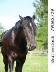 Black Horse Eating Grass