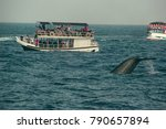 wild blue whale tail diving... | Shutterstock . vector #790657894