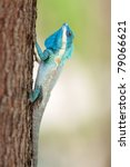 Blue Crested Lizard Calotes...