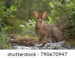 Stock photo a snwoshoe hare in the forest during summer 790670947