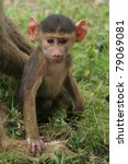 Baby Baboon Sitting In The...