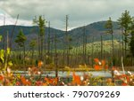 A Large Beaver Pond Swamp With...