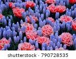 Background Grape Hyacinth...