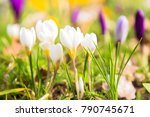 The First Spring Flowers Crocu...