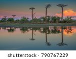 beautiful baobab trees at... | Shutterstock . vector #790767229