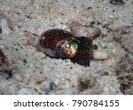 Small photo of Bobtail squid (Euprymna sp.) is found on the sandy bottom near a coral reef of Andaman sea, Thailand. Amazing small marine creature undersea in thailand
