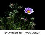 purple  pink  cosmos flower in... | Shutterstock . vector #790820524