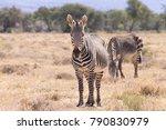 cape mountain zebra from... | Shutterstock . vector #790830979