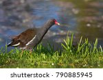 The Common Moorhen  Gallinula...