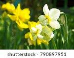 Beautiful Flowers Of Daffodils...
