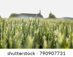 Grain Field In Great Golde...