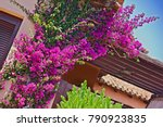Bougainvillea  Genus Of Thorny...