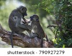 chacma baboon in kruger... | Shutterstock . vector #790927279