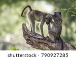Chacma Baboon In Kruger...